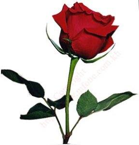 bgsingle_red_rose